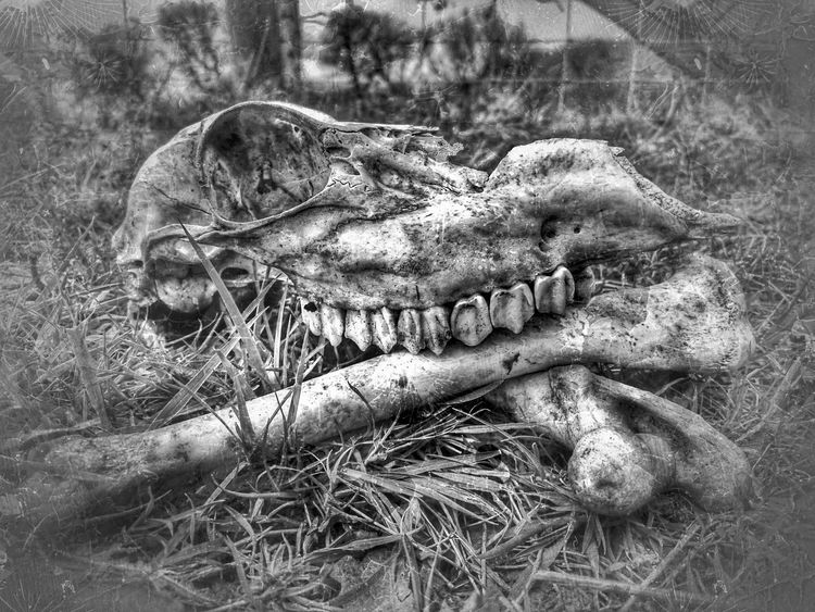 For The Love Of Black And White Skull And Bones Skull Candy  Skull Sheeps Skull Death & Decay Bones Countryside Life Skulls💀 Death In Nature Grunge It Up Farm Animals, Pig, Farm Life,sleeping Big, Resting Pig, Pig Pen, Black And White Looks Like A Sketch