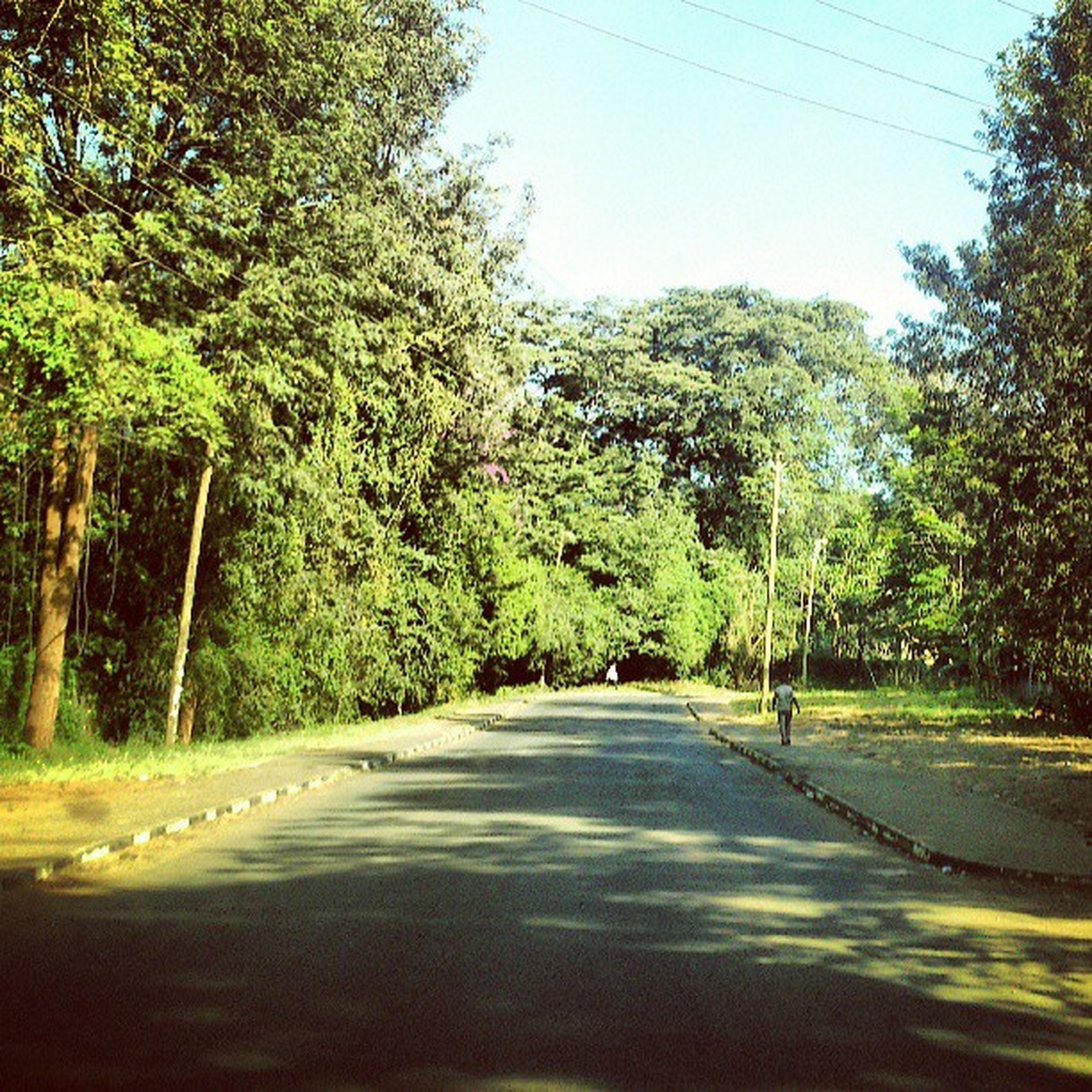 tree, road, clear sky, the way forward, tranquility, transportation, growth, nature, tranquil scene, beauty in nature, scenics, country road, diminishing perspective, sunlight, green color, street, forest, day, water, outdoors