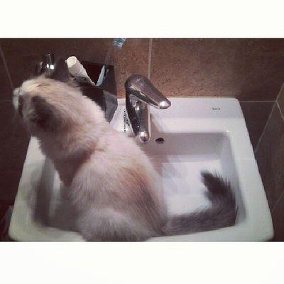 El sr.Enrique ha descubierto la pica del baño. Qué tendrán estos animales para profesar tanto amor por la fría cerámica... Srenrique Cat Gato Gatolicismo pica amor amorgatuno