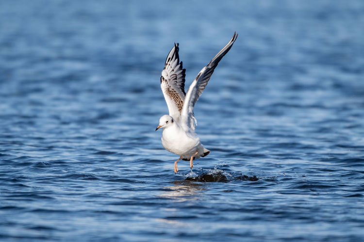 Sea gull landing on water. Flight Bird Gull Sea Sea Gull Bird In Flight Bird Landing Bird Landing On Water Ocean Ocean Bird Selective Focus Beauty In Nature Nature Seagull Waterfront Flying Spread Wings Animal Water Animal Wildlife Animals In The Wild No People Day Outdoors One Animal Vertebrate