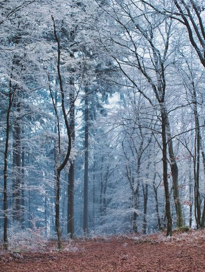Tree Forest Land Plant Nature Winter WoodLand Day Bare Tree Tranquility Cold Temperature No People Beauty In Nature Outdoors Trunk Tree Trunk Non-urban Scene Snow Environment