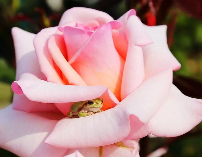 Single Rose Froggy Frogs Life Hiding From The World Sneaky Barely Visible Almost Missed Him Petal Pink Color Close-up Nature Outdoors Beauty In Nature No People Flower
