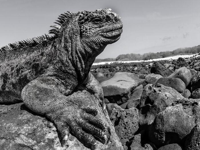 Close-up of a lizard on rock