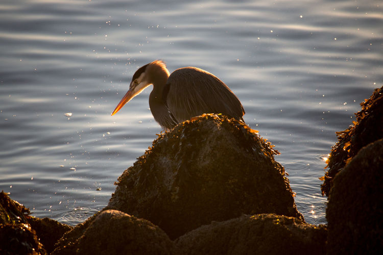 Heron against lake