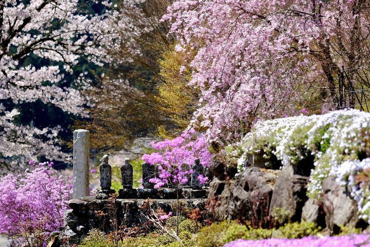 Pink cherry blossoms in garden