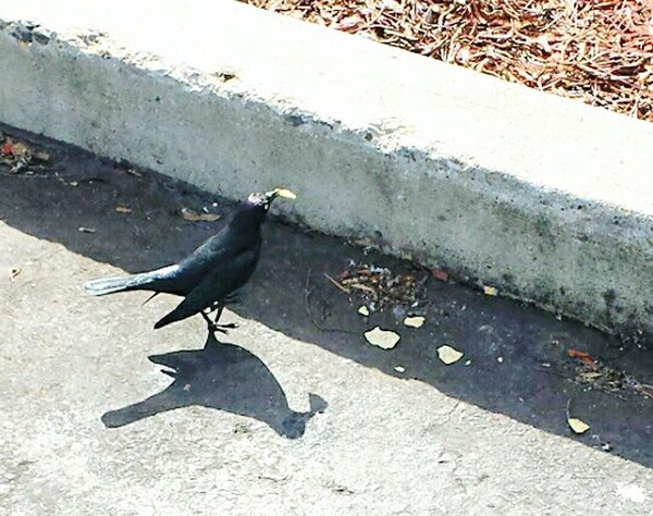 Salsa Please ? Bird Photography Bird Watching Birds🐦⛅ Bird Eating Bird Eating Tortilla Chips Parking Lot Photo Shoot  Black Color Black Bird