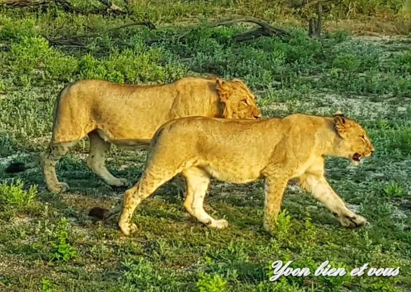 lionnes en liberté Yvonbien Couple Lion Feline Trip Life Vacations Voyage South Africa Grass Animal Themes Mammal Field Day Animals In The Wild No People Outdoors Nature