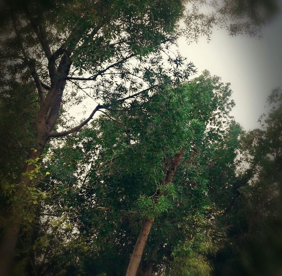 Geno Tree