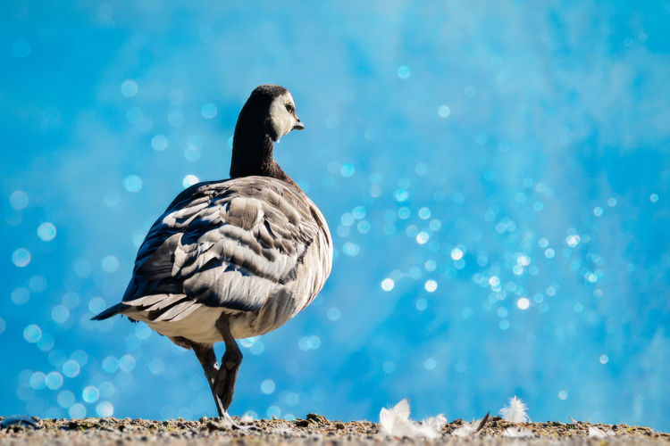 barnacle goose by the shore Animal Animal Themes Animal Wildlife Animals In The Wild Barnacle Goose Bird Blue Close-up Day Focus On Foreground Full Length Goose Nature No People One Animal Outdoors Perching Selective Focus Side View Vertebrate Water