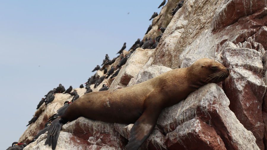 Sea lion surrounded by sea birds dozing on a rock in the sun