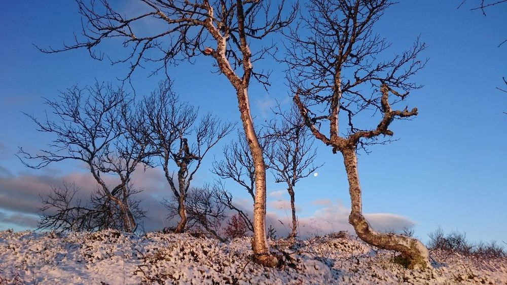 Tree Bare Tree Nature Blue Outdoors No People Sky Branch Beauty In Nature Clear Sky Morning Frosty First Snow Grövelsjön