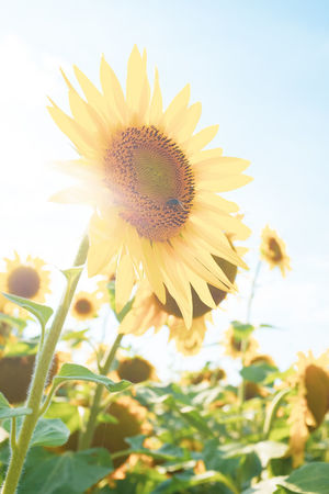 Sunflower facing the wrong direction :D EyeEmNewHere Natural Light Summer Road Tripping Summertime Sunflower Sunlight Beauty In Nature Flower Flower Head Flowering Plant Freshness Lens Flare Nature Outdoors Petal Pollen Rural Scene Summer Sun Sunflower Sunshine Vegetation Yellow
