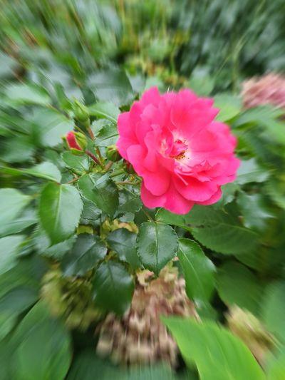 Roses🌹 Garden