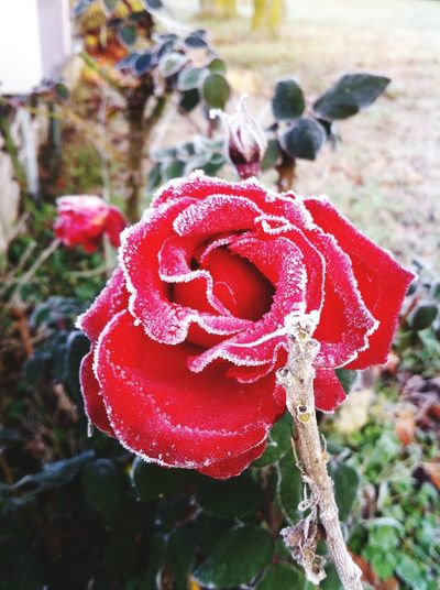 Focus On Foreground Red Love Close-up No People Day Outdoors Rose - Flower Roses Winter Ice Flower Photography