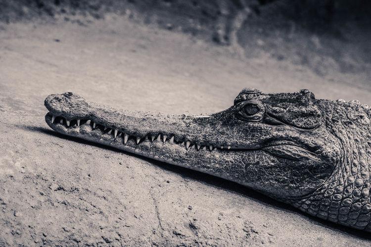 Close-up of crocodile on lakeshore