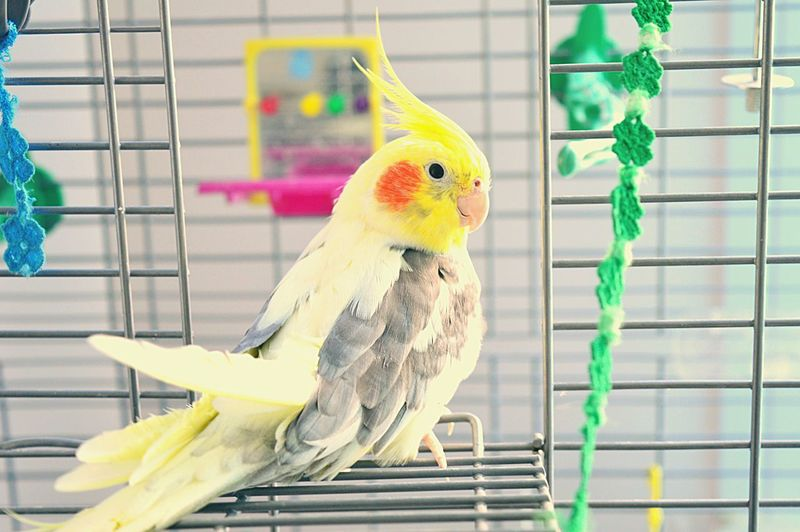Close-Up Of Cockatiel In Cage At Home