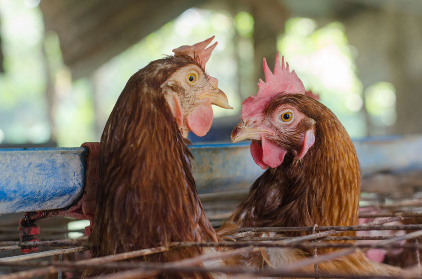 Chicken Industry Lifestock Animal Animal Family Animal Themes Bird Chicken Chicken - Bird Close-up Day Domestic Domestic Animals Female Animal Group Of Animals Hen Livestock Mammal Nature No People Outdoors Pets Selective Focus Two Animals Vertebrate
