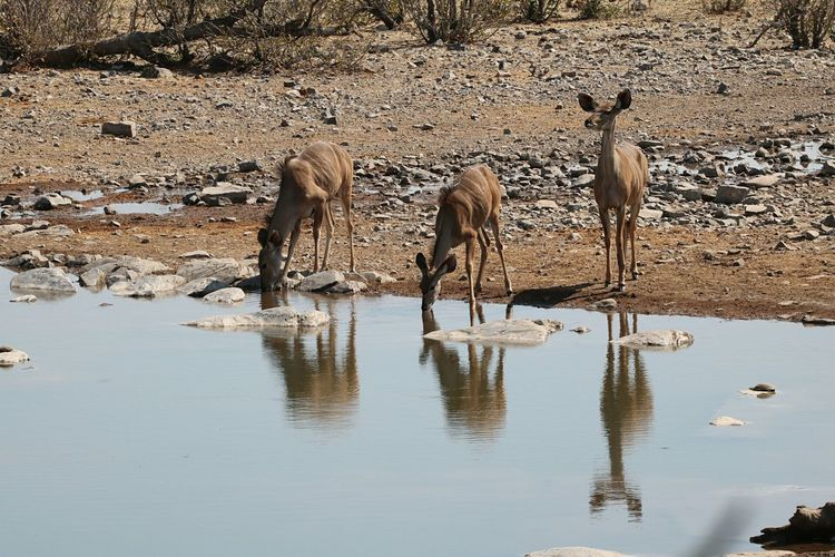 Zebras standing on puddle at lake