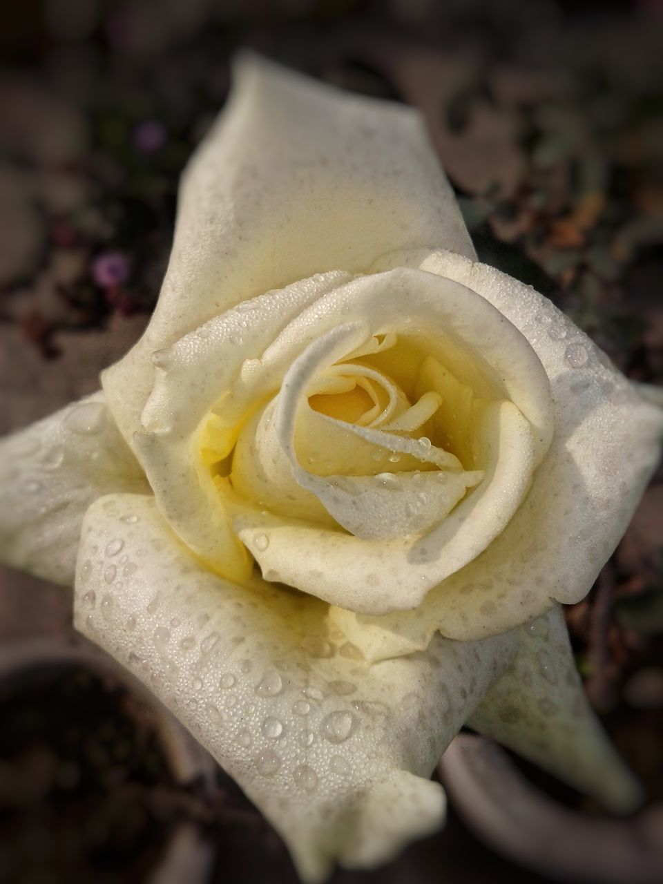 flower, petal, fragility, nature, beauty in nature, flower head, rose - flower, growth, freshness, close-up, plant, blossom, outdoors, yellow, no people, springtime, day, blooming, water