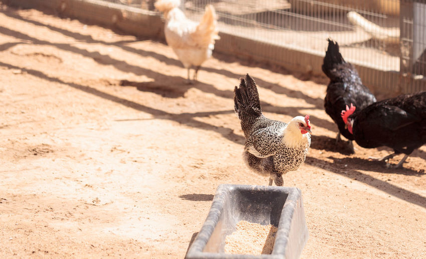 Black, buff, brown, and white chickens on a farm outside a chicken coop pecking and foraging for food. Animal Themes Bird Buff Chicken Chicken Feed Day Farm Farm Yard Feeding  Hen Livestock No People Outdoors Poultry Poultry Farming Poultryfarm White