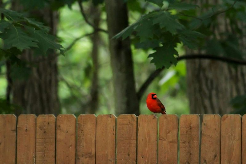 Bird Photography Birds Of EyeEm  Birds_collection Beauty In Nature EyeEm Nature Lover Nature_perfection Nature On Your Doorstep Outdoor Photography Nature Beautiful Nature Trees Ohio Wildlife & Nature Summer ☀ Nature Photography Red Bird
