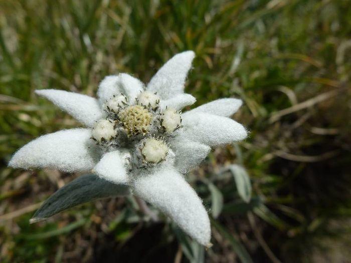 Nationalpark Schweiz, Parc naziunal Svizra Edelweiss Fleur Flor Flower Graubünden Hiking Leontopodium Alpinum Nationalpark Swiss Alps Switzerland