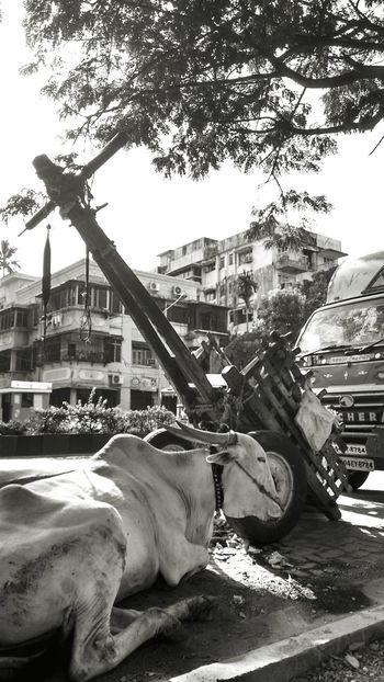 Incredible India Cowsofinstagram / Cowsarepeopletoo/ un Happycows/Cows in Bandra Mumbai Streetphotography EyeEm Best Shots - Black + White EyeEmBestPics