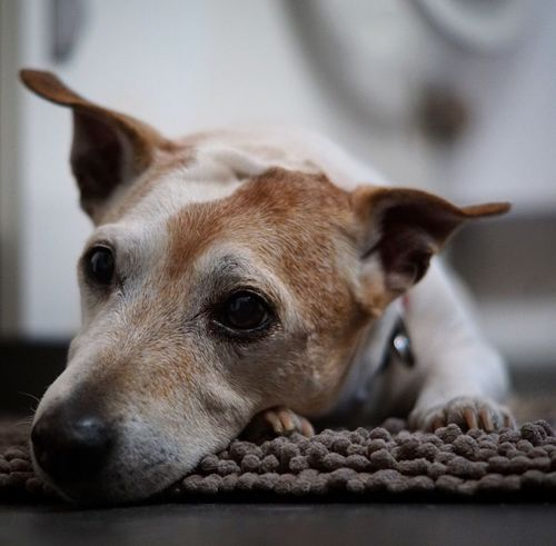 Animal Themes Domestic Animals Close-up Pets Dog Mylove Paco Jackrussell Olddog Relax