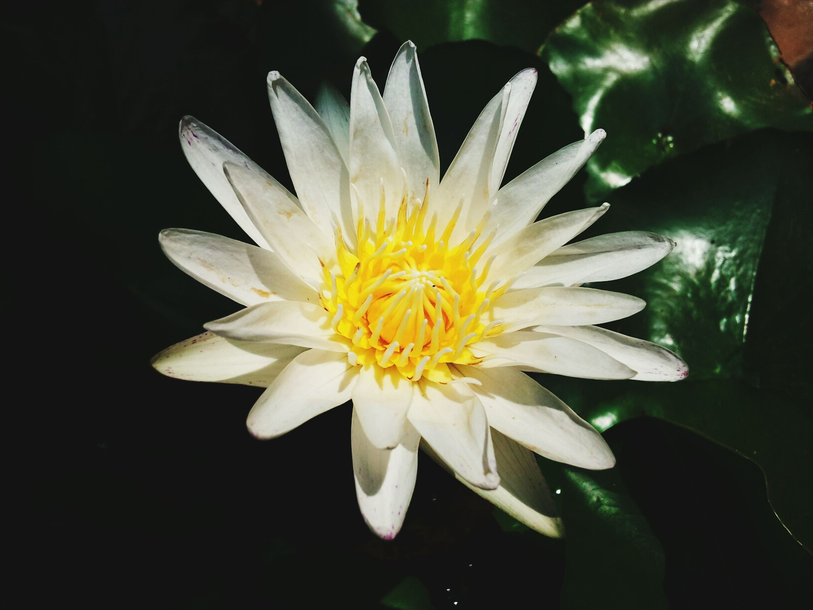 flower, petal, flower head, freshness, fragility, single flower, beauty in nature, white color, pollen, close-up, growth, blooming, nature, yellow, water lily, plant, water, daisy, stamen, in bloom