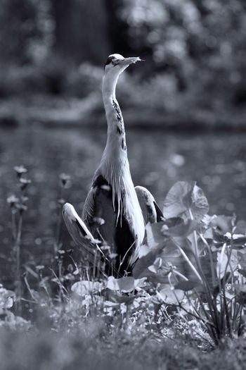 Sunbathing Heron Flashing  Monochrome Bnw