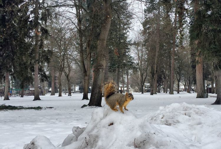Squirrel on snow at field against trees
