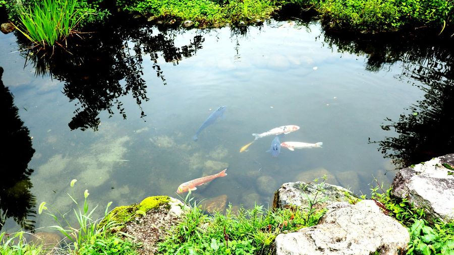 Koi Carp Swim In The Pond EyeEm Gallery Nature_collection Japan Photography Garden Photography