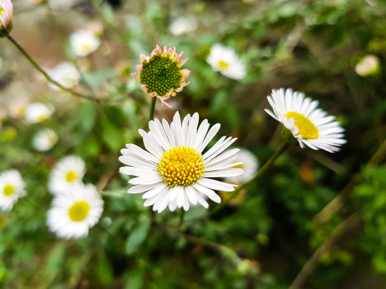 Flower White Color Fragility Flower Head Nature Petal Daisy Freshness Beauty In Nature Plant Pollen Uncultivated Growth Focus On Foreground Springtime Day Close-up Wildflower Outdoors No People S8 Collection Botanical Garden Alternative Medicine Herbal Medicine Plant Part