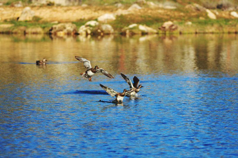 ducks landing Bird Water Spread Wings Flying Lake Water Bird Mallard Duck Duck