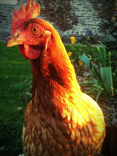 Close-Up Of A Hen Looking Away
