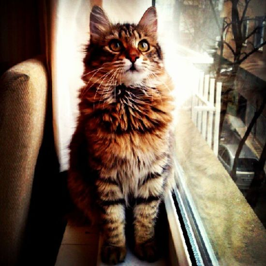 Pettaksi , Catsofinstagram , Petsofinstagram , Instacat , cats, pets, 50likes, pussycat, bestof, petstagram, missingcandy, bojangles, kitty, castagram, cat, meow, tc, gato, kitten, neko, beautiful, cute, love, sweet, random, catlover, funny, instamood