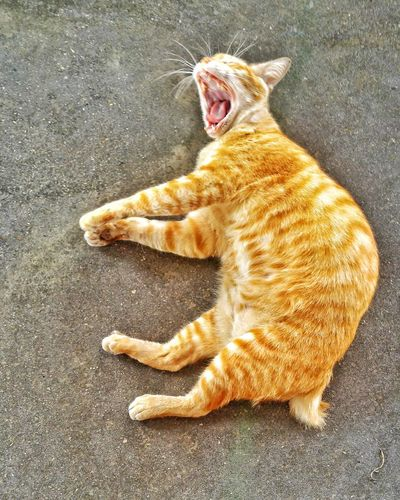 Yawning fat cat