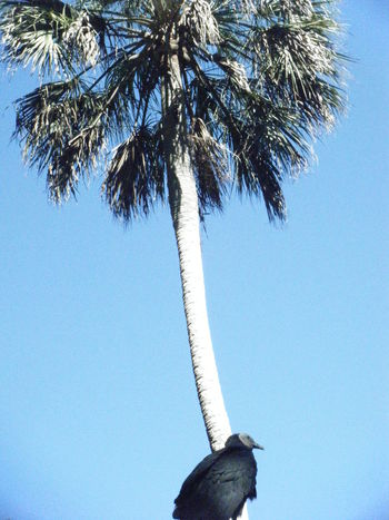Tree Palm Tree Bird Grouse Sky Blue
