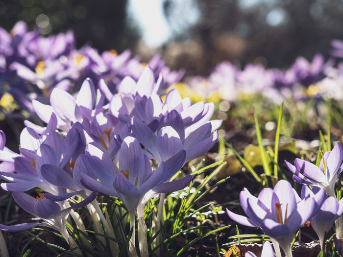 Flowering Plant Flower Freshness Vulnerability  Plant Fragility Beauty In Nature Purple Petal Growth Close-up Nature Focus On Foreground Flower Head Crocus Day Inflorescence Iris No People Field Outdoors