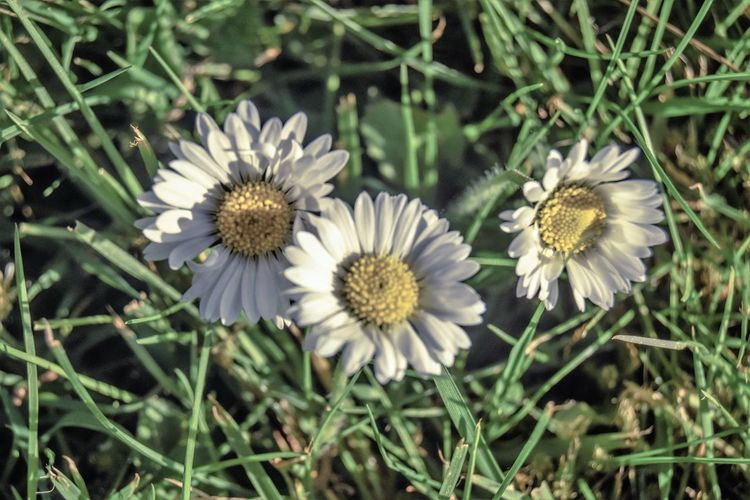 Flower Flowering Plant Plant Fragility Vulnerability  Freshness Flower Head Beauty In Nature Growth Close-up Inflorescence Petal Nature Land Day Field No People High Angle View White Color Focus On Foreground Outdoors Pollen Softness Daisies