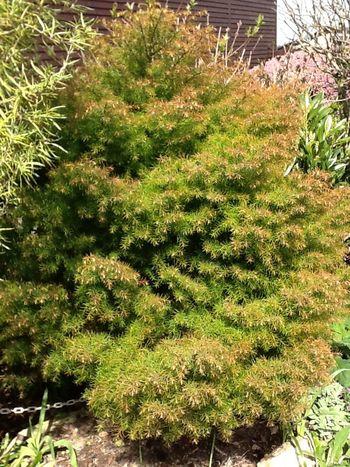Japanese Cedar Plant Love