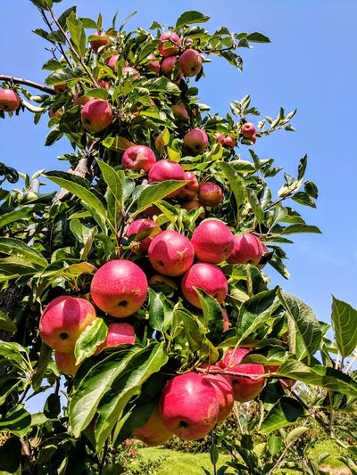 Apple picking Fruit Tree Food Outdoors Close-up Syracuse  Upstate New York Apple Picking Clear Sky Apples Fresh Red Crisp The Week On EyeEm