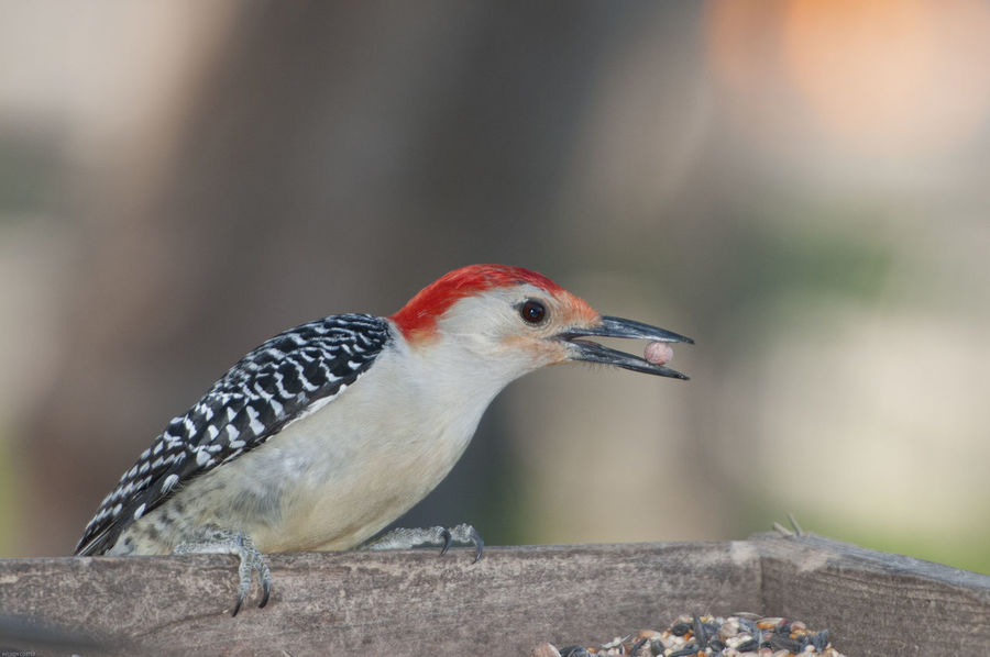 Eating Red Bellied Wood Pecker Redhead Animal Themes Animal Wildlife Animals In The Wild Beak Beauty In Nature Bird Close-up Day Focus On Foreground Nature No People One Animal Outdoors Perching Wood Pecker