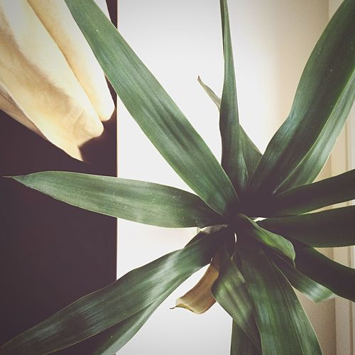 Yucca and