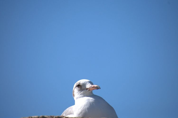 A Curious Seagull Bird Mourning Dove Sea Life Clear Sky Blue Bird Of Prey Sky Sea Bird Seagull Water Bird Perching