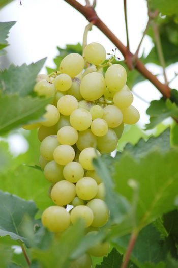 grapes Close-up Day Freshness Grape Grapes Nature Photography Grapes On The Vine Grapes 🍇 Grapes, Vineyard, Wine, Winery, Soft, Growth Nature Ripe Shallow DOF