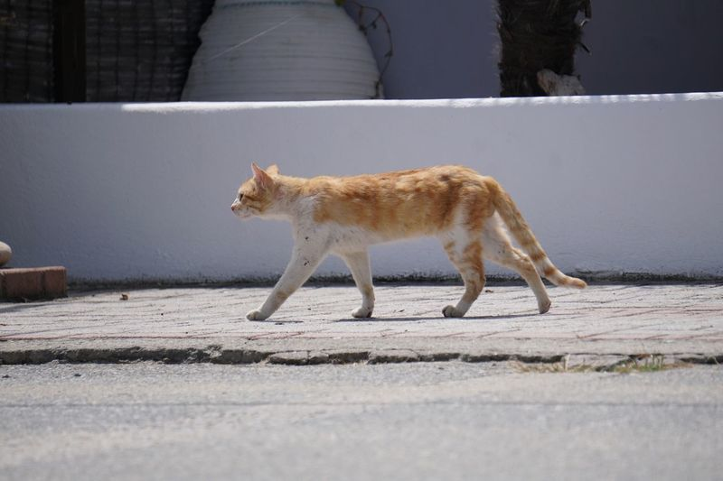 Side view of a cat walking on footpath