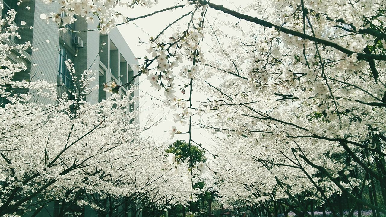 tree, branch, growth, low angle view, nature, day, no people, white color, beauty in nature, architecture, built structure, outdoors, building exterior, plant, springtime, fragility, flower, freshness