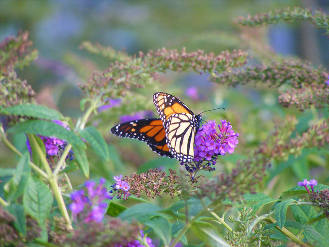 Beauty In Nature Butterfly Butterfly And Flowers Butterfly Flying Butterfly Up Close Butterfly Wings Flower Nature