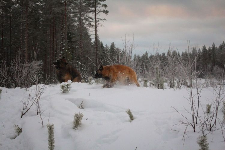 EyeEm Ready   Nature Snow ❄ Outdoors Winter Snow Cold Temperature Animal Themes Nature Sky Dog Landscape Pets Beauty In Nature Tervueren Belgian Shepherd Lapland Finland Forest Weather The Traveler - 2018 EyeEm Awards